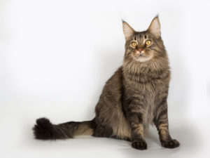 Main-Coon